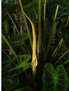 colocasia_esculenta_illustris_flower_jay
