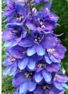 delphinium-flower-head