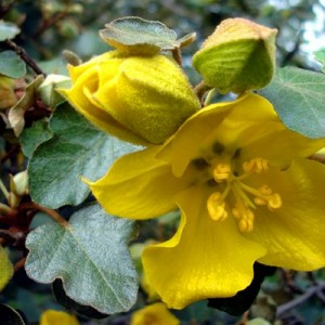 fremontodendron-2